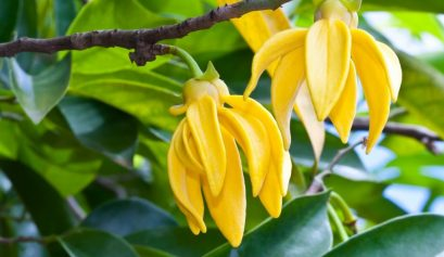 Fragrance note ylang ylang