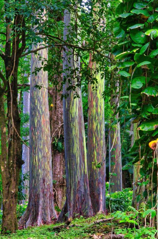 dugin eukaliptus